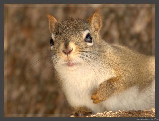 squirrel_watermark