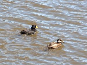 Scoter Ducks