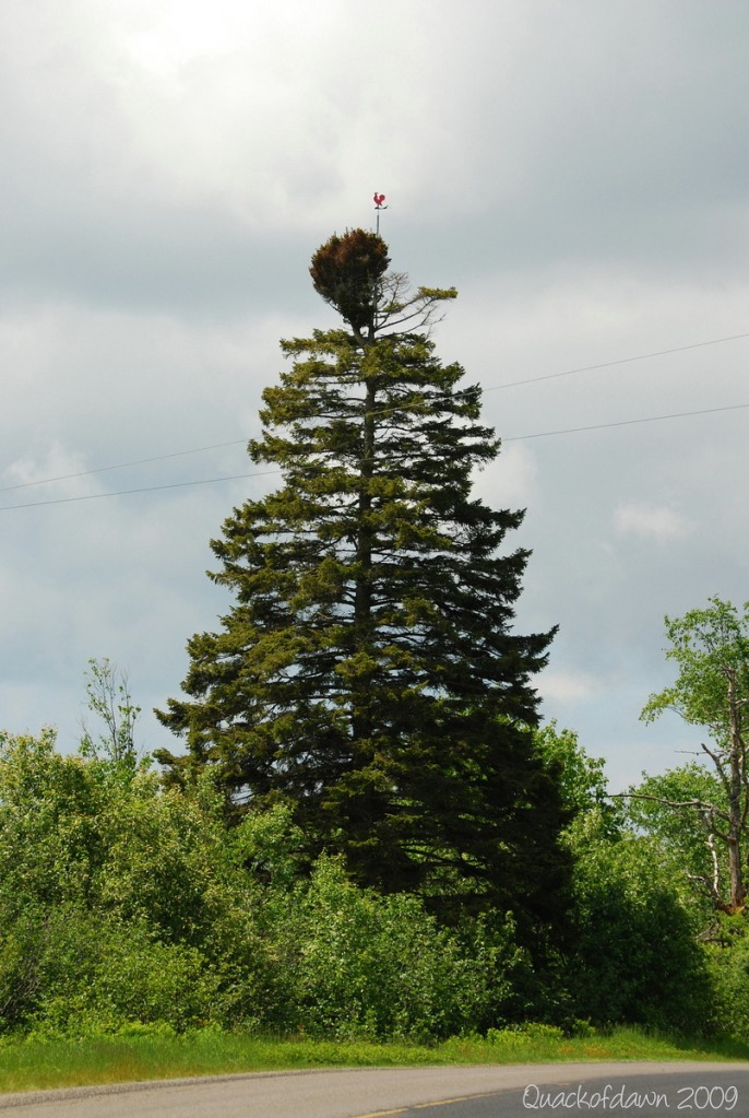 rooster_spruce